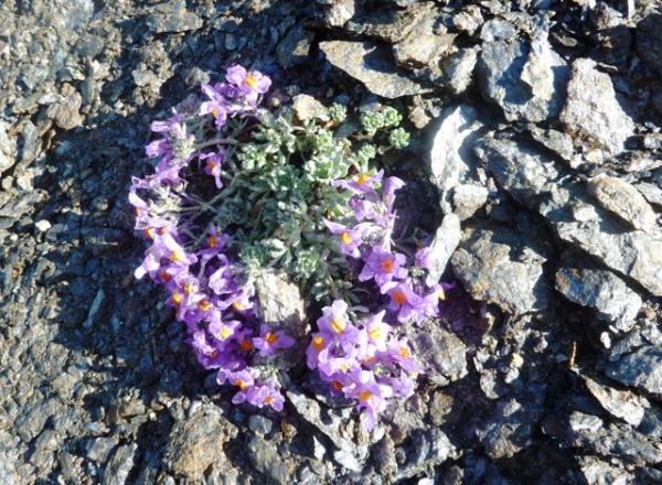 Fleur de roc